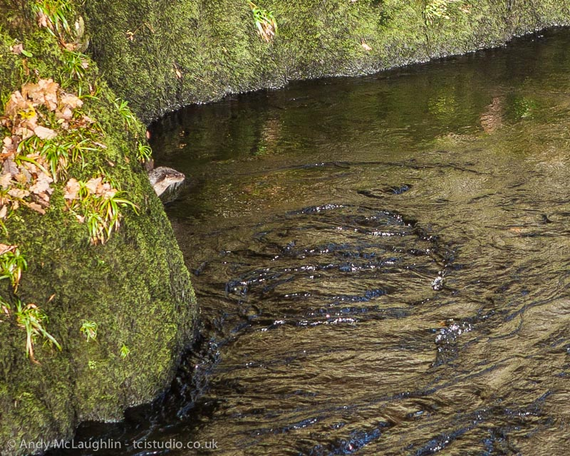 My first wild Otter – Scottish Borders